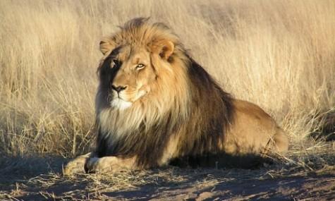 Anmutig, aber durchaus gefährlich, so ein Löwe.
